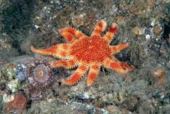Common Sun-star